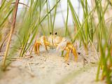 Ghost crab on beach.