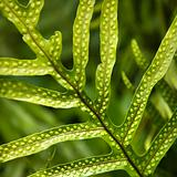 Fern leaf.