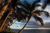 Palm tree in  Hawaii.