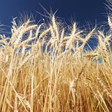 Wheat and blue sky.