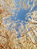 Wheat in blue sky.