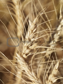 Close up of wheat.