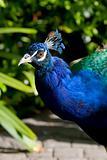 Blue peacok