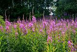Rosebay Willowherb (Epilobium angustifolium)