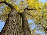 autumnal trees 1