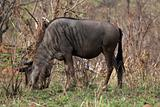 Blue wildebeest