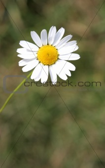 Camomile on a background of the ground in the afternoon
