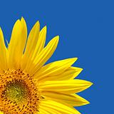 Sunflower blue sky