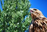 Golden eagle gazing