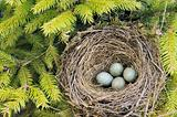 Detail of blackbird eggs in nest