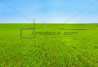 Beautiful spring wheat field