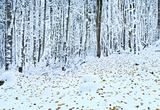 First winter snow and last autumn leafs in forest