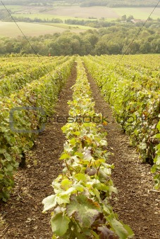 french vineyards of the champagne region