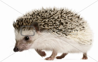 Four-toed Hedgehog, Atelerix albiventris, 2 years old, walking in front of white background