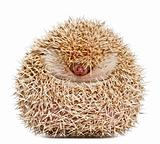 Four-toed Hedgehog, Atelerix albiventris, 2 years old, balled up in front of white background