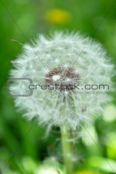 White Dandelion in Green Field