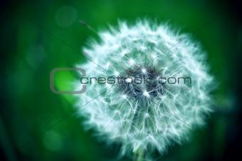 White Dandelion in Green Field