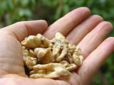 Walnuts in the palm of a womans hand