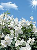 fresh jasmine. Weather - sunny spring day