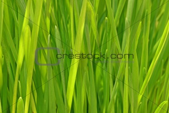 Cat Grass leaves