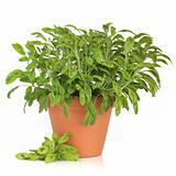 Sage Herb Plant