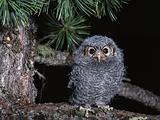 Owl, bird, hischnik(5).jpg