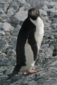 Adelie Penguin 4