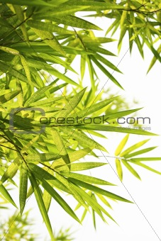 Bright Bamboo background