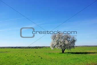 Almond tree , south of Portugal.