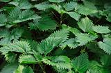 stinging nettle