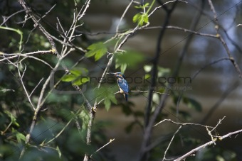 kingfisher among green branches