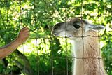 Lama - Vancouver Zoo, Canada