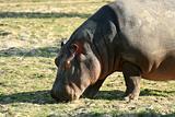 Hippo , Canada