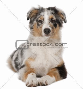 Australian Shepherd puppy, 5 months old, lying in front of white background