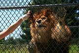 Lion - Vancouver Zoo, Canada