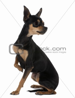 Prague Ratter or Pražský Krysařík, 2 years old, sitting in front of white background