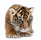 Sumatran Tiger cub, Panthera tigris sumatrae, 3 weeks old, in front of white background