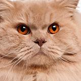 Close-up of British longhair cat, 15 months old