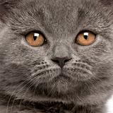 Close-up of British Shorthair kitten, 10 weeks old