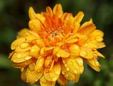 Orange Flower In the Rain