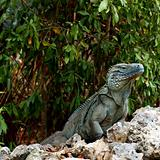 Blue Iguana Grand Cayman