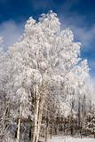 Heavy frosted birches