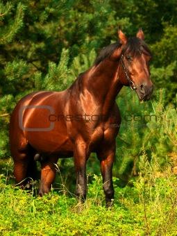 beautiful bay horse in verdure