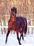 portrait of running bay horse in winter