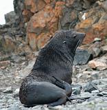 Elephant seal 4