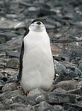 Chinstrap penguin 17