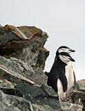 Chinstrap penguin 26