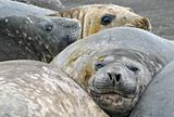 Elephant seals 4