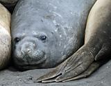 Elephant seals 5