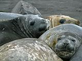 Elephant seals 7